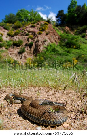 The common Montpellier snake in its natural habitat in the Montseny mountains of Spain. - stock photo
