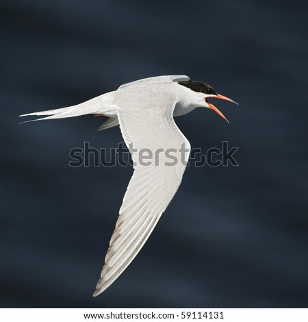 The Common Tern  is a seabird of the tern family Sternidae. This bird has a circumpolar distribution breeding in temperate and sub-Arctic regions of Europe, Asia and America. - stock photo
