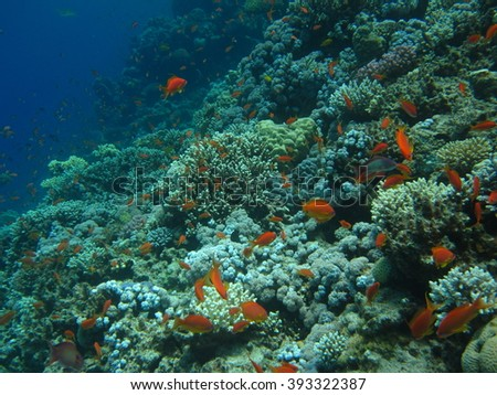 The coral reef. Underwater paradise for scuba diving, freediving. Red sea, Dahab, Egypt. - stock photo