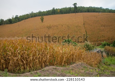 The Corn field hillside, Chiang mai Thailand - stock photo