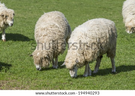 The Cotswold Lion Sheep is a rare breed originating from the Cotswolds region of England. The area has been a prolific producer of wool from Roman times. This breed was predominant in medieval times - stock photo