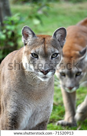 The cougar (Puma concolor), also known as puma, mountain lion, mountain cat, catamount or panther, depending on the region, is a mammal of the family Felidae, native to the Americas. - stock photo