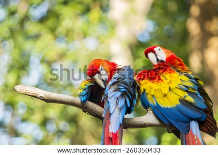 the couple of beautiful macaw - stock photo