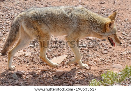 The coyote, also known as the American jackal, brush wolf, or the prairie wolf, is a species of canine found throughout North and Central America - stock photo