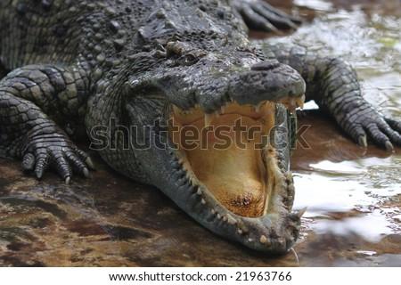 The crocodile on a crocodile farm in Thailand - stock photo