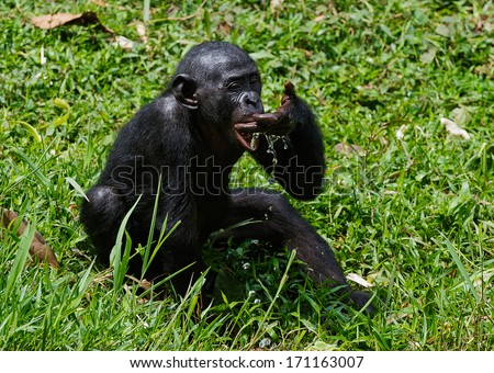 The cub  chimpanzee bonobo ( Pan paniscus)   drinks water from a palm - stock photo