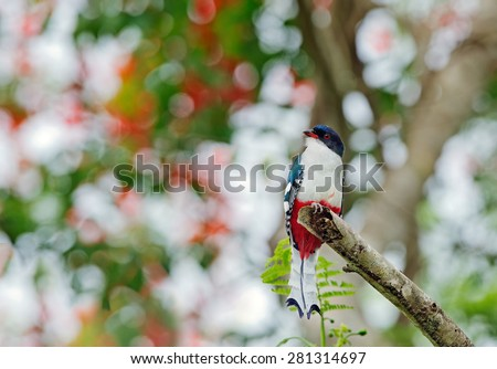 The Cuban Trogon or Tocororo (Priotelus temnurus). A cuban trogon (Priotelus temnurus) on the green natural background. Cuba - stock photo
