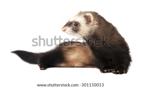 The curious ferret - stock photo
