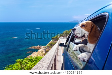 The cute beagle travels in the blue car - stock photo