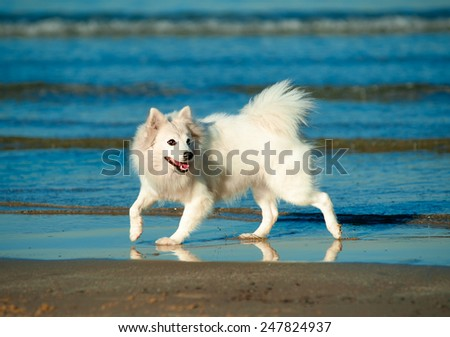 The cute white spitz running along the seashore - stock photo