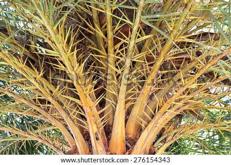 The date-palm. Palm plant - stock photo