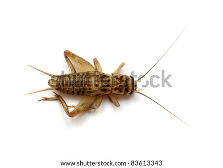 The dead common house cricket (Acheta domesticus) isolated on white - stock photo