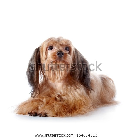 The decorative doggie. Decorative dog. Breed doggie Petersburg orchid. - stock photo