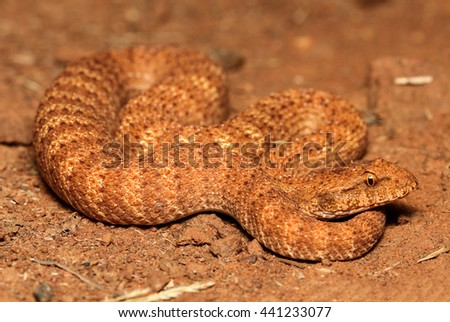 The desert death adder is a species of snake native to Australia and is one of the most venomous land snakes in the world. The desert death adder is under threat due to the destruction of habitat. - stock photo