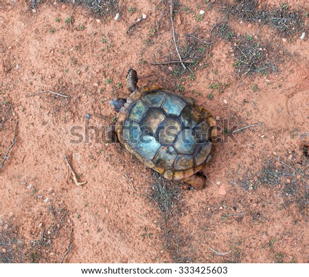 The desert tortoises (Gopherus agassizii and Gopherus morafkai). Top view. Snow Canyon State Park, Utah  - stock photo