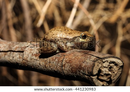The desert tree frog or little red tree frog is a tree frog native to Australia, southern New Guinea, and Timor. - stock photo