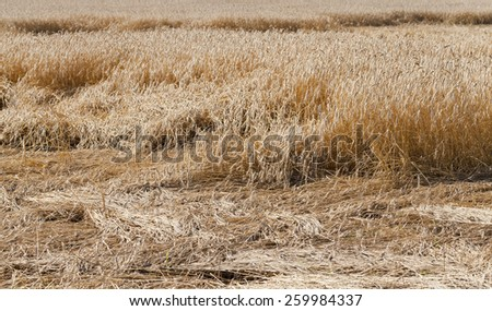 the destroyed cereals   - stock photo