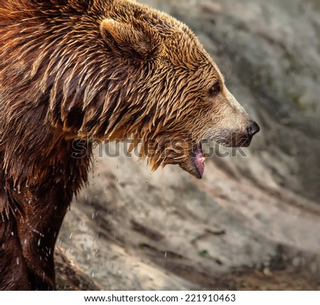 The detail of brown bear cub in water  - stock photo