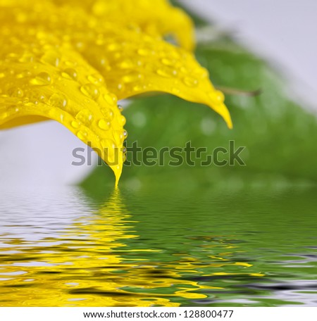 The detail - sunflower leaves and the drops. - stock photo