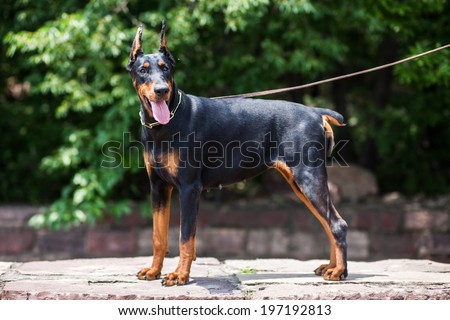 The Doberman Pinscher, a good guard dogs, this is an adult female dog  - stock photo