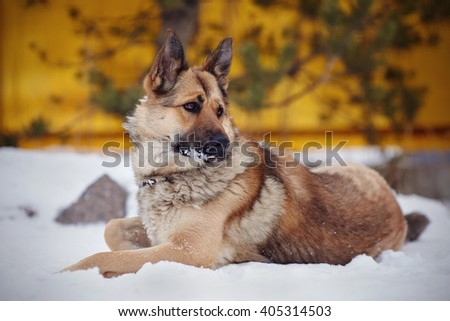 The dog a sheep-dog lies on snow - stock photo