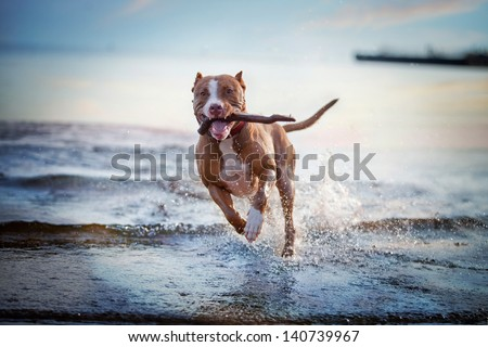 the dog in the water, swim, splash - stock photo