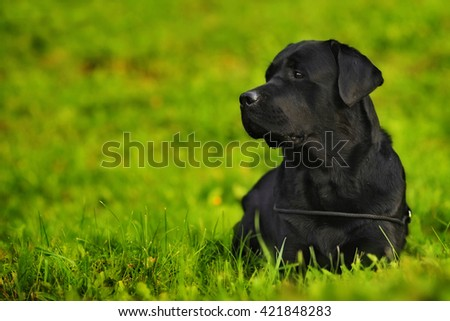 the dog is a purebred black Labrador Retriever lying in bright green grass - stock photo