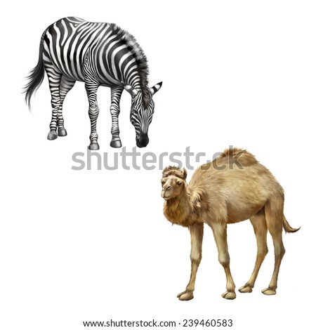 The domestic camel standing and zebra bent down eating grass , Isolated on white - stock photo