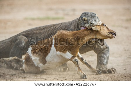 The dragon attacks. The Komodo dragon attacks the prey. The Komodo dragon, Varanus komodoensis, is the biggest living lizard in the world.On island Rinca. Indonesia. - stock photo