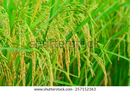 The ear of rice in the field - stock photo