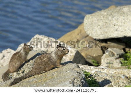The eastern gray squirrel or grey squirrel is a tree squirrel in the genus Sciurus.Sciurus carolinensis is native to the eastern and midwestern United States. Seen here on coastal rocks in California - stock photo