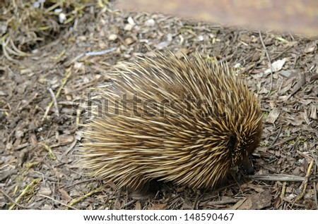 the echidna is walking with its nose in the ground looking for food - stock photo