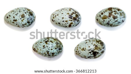 The eggs of the Great Reed Warbler in front of white background, isolated.Russia. Russia, the Ryazan region (Ryazanskaya oblast), the Pronsky District. - stock photo