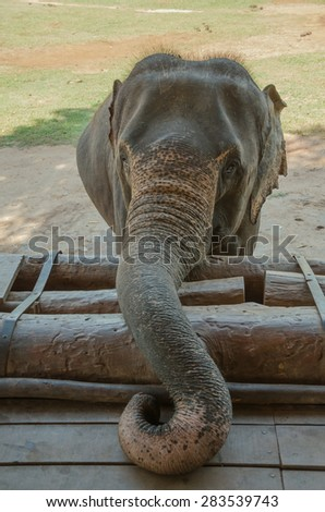 The elephant calf was raised and twisted trunk. - stock photo