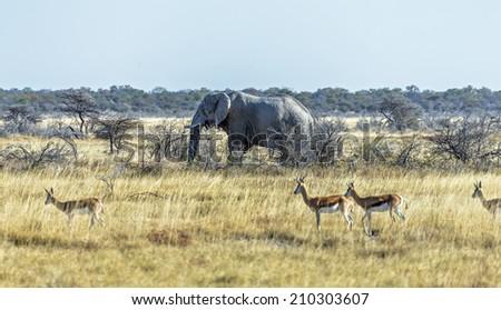 The elephant (Elephantidae) in Etosha National Park - Namibia, South-West Africa - stock photo