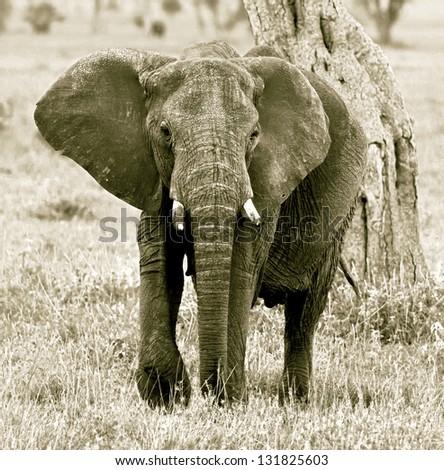 The elephant female in the Serengeti National Park - Tanzania, Africa (stylized retro) - stock photo