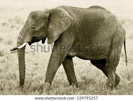 The elephant female in the Serengeti National Park - Tanzania, Eastern Africa (stylized retro) - stock photo