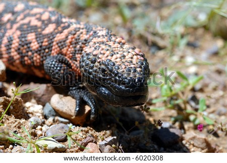 The endangered Gila monster is the only venomous lizard found in the United States. - stock photo