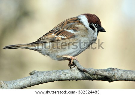 The Eurasian tree sparrow (Passer montanus) is a passerine bird in the sparrow family with a rich chestnut crown and nape, and a black patch on each pure white cheek. - stock photo
