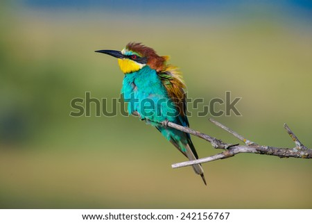 the European bee-eater, perched on twig - stock photo