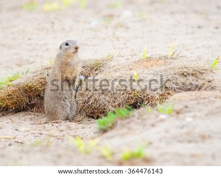 The European Ground Squirrel is standing near its burrow - stock photo