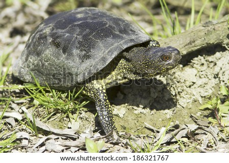 The European pond terrapin in natural habitat  / Emys orbicularis - stock photo