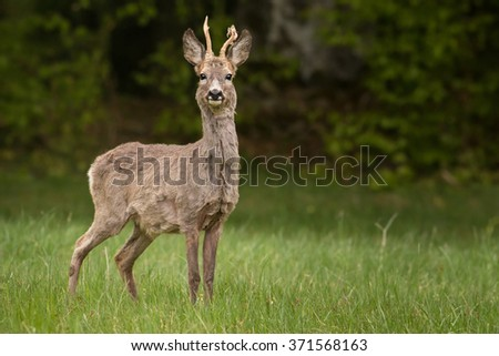 The European Roe Deer (Capreolus capreolus) on the meadow with green forest in blurred background. - stock photo