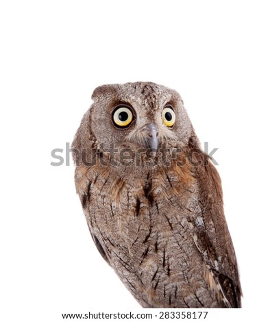 The European scops owl on white - stock photo