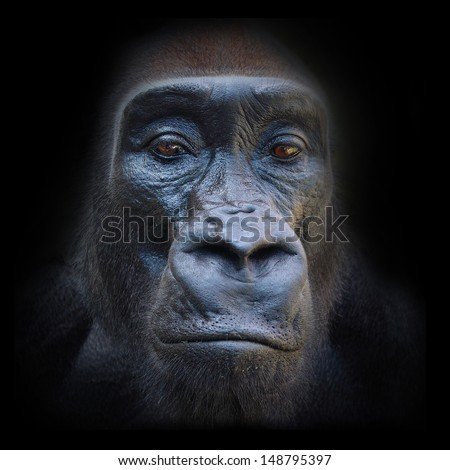 The evil eyes in the night. The Gorilla portrait.  - stock photo