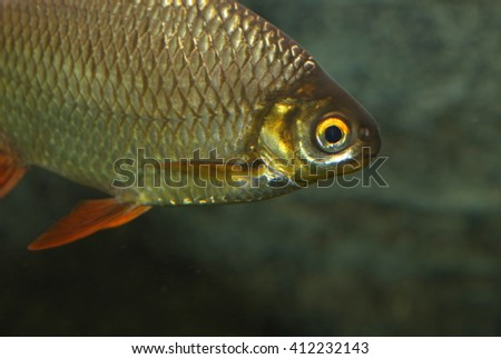 The face of a Tinfoil Barb (Barbonymus schwanenfeldii). - stock photo