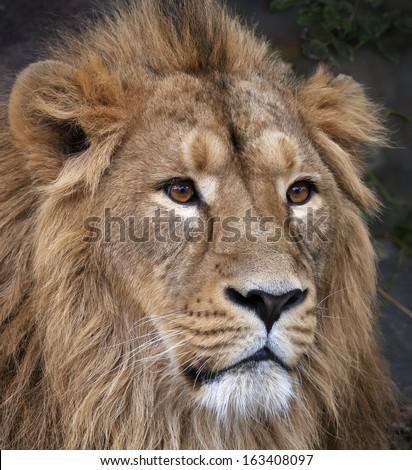 The face portrait of a calm Asian lion. The King of beasts, biggest cat of the world. The most dangerous and mighty predator of the world. Beauty of the wild nature. - stock photo