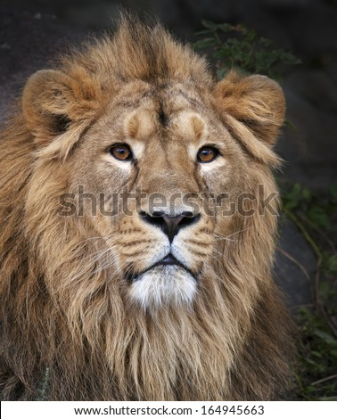 The face portrait of a calm lion. The King of beasts, biggest cat of the world. The most dangerous and mighty predator of the world. Beauty of the wild nature. - stock photo