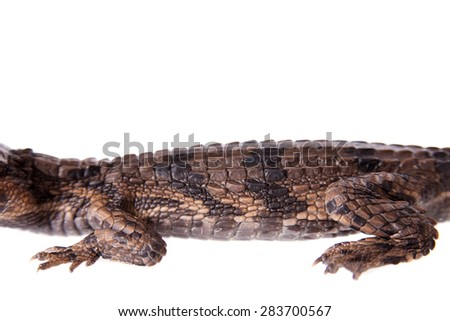 The false gharial , Tomistoma schlegelii, on white - stock photo
