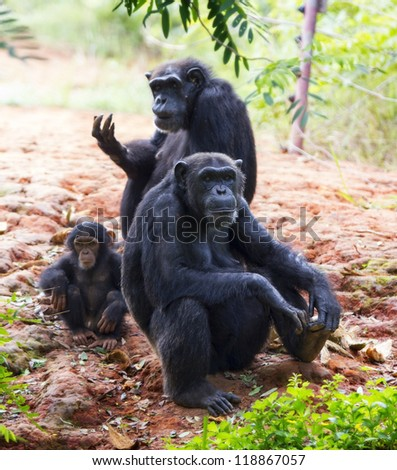 The family of a chimpanzee sitting and relax in the nature. - stock photo